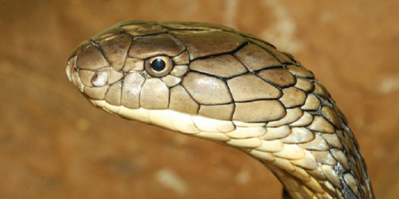 Myths-about-Snakes