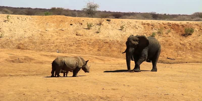 African-elephant-giives-hug-to-rhino-in-a-viral-video-posted-by-IFS-Susanta-Nandha
