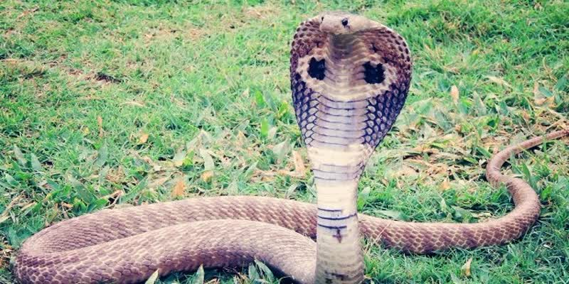 The-snake-that-had-entered-the-sleeper-s-band-came-out-after-a-seven-hour-struggle-