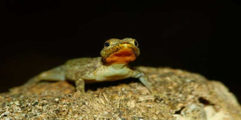 A-new-species-of-GECKO-discovered-by-scientists-in-Palakkad-Kerala