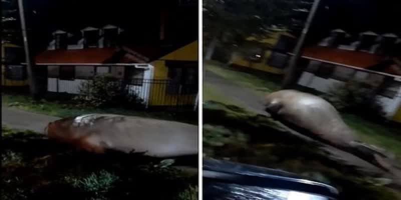 video--Mammoth-elephant-seal-found-wandering-around--scared-and-confused--in-Chilean-coastal-town